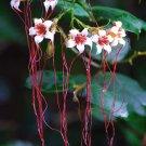 Strophanthus Petersianus Shrub, Sand Forest Poison Rope Bush 6 Seeds