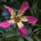 Hardy Pink Chorisia Ceiba Speciosa, Kapok Silk Floss Tree 10 Seeds