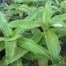 Callisia Fragrans The Rare Variegated Cultivar, The False Bromeliad Indoor/outdoor