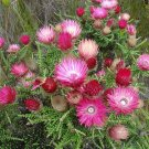Phaenocoma Prolifera 8 Shrub Seeds, African Straw Flower