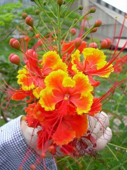 Caesalpinia Pulcherrima Shrub / Tree, Great For smaller Yards 10 Seeds