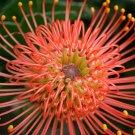 Leucospermum Cordifolium Shrub, Pincushion, Proteaceae - 5 Seeds