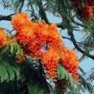 Colvillea Racemosa Tree, Rich Orange Glory 15 Seeds
