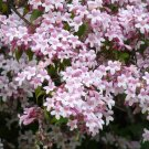 Kolkwitzia Amabilis 100 Seeds, Cold Hardy Beauty Bush