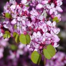 Cercis Occidentalis, Western Redbud Cold Hardy Shrub Or Tree, 25 Seeds