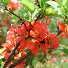 Chaenomeles Japonica 500 Seeds, Cold Hardy Red Japanese Quince Shrub