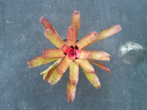 SALE! Mystery Neoregelia sp. Bromeliad #N1, Beautiful Strawberry Colors With Blue Flowers!