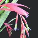 SALE! Billbergia Hoelscheriana Bromeliad Hybrid