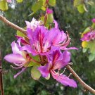 Bauhinia Purpurea, Pink/Purple Orchid Tree 100 Seeds