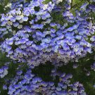 Psoralea Pinnata, Cold Hardy Kool Aid Bush or Small Tree, 8 Seeds