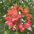 Cassia Roxburghii, Red Cassia Shower Tree 8 Seeds