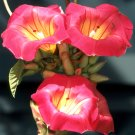 Rare Stictocardia Beraviensis VINE, Hawaiian Sunset Bell 2 SEEDS