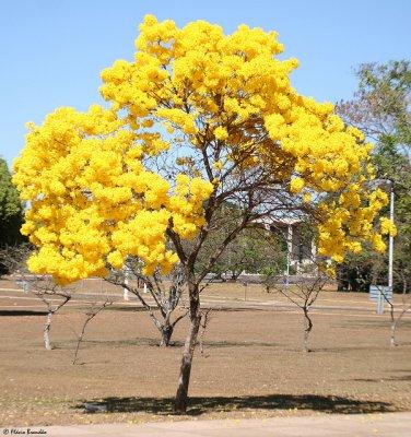 Tabebuia Chrysotricha 15 Seeds, Golden Trumpet Tree