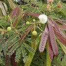 Leucaena Leucocephala, Miracle Lead Tree, Koa Haole 20 Seeds