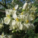 Moringa Oleifera / Pterygosperma, Horseradish Tree 100 Seeds