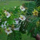 Delonix Decaryi Tree 5 Seeds, Near Threatened Fengoky, Poinciana Decaryi