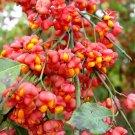 Euonymus Europaea Tree or Shrub 15 Seeds,  Cold Hardy European Spindle
