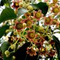 Brachychiton Populneus, Kurrajong Bottle Tree 5 Seeds