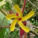 Wercklea Ferox, A Rare Costa Rican Shrub 5 Seeds