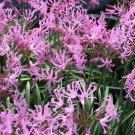 Nerine Alta, Nerine Undulata,  A South African Bulbous Perennial 5 Seeds