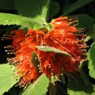 Greyia Radlkoferi, Woolly Or Natal Bottlebrush South African Shrub Or Small Tree 10 Seeds