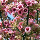 Brachychiton Discolor Tree, Australian Lacebark, Pink Kurrajong 10 Seeds
