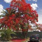 Brachychiton Acerifolius 7 Seeds, Illawarra Flame Tree, Kurrajong