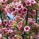Brachychiton Discolor Tree, Australian Lacebark, Pink Kurrajong 100 Seeds