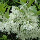 Chionanthus Virginicus 10 Seeds, Hardy White Fringetree, Grancy Greybeard