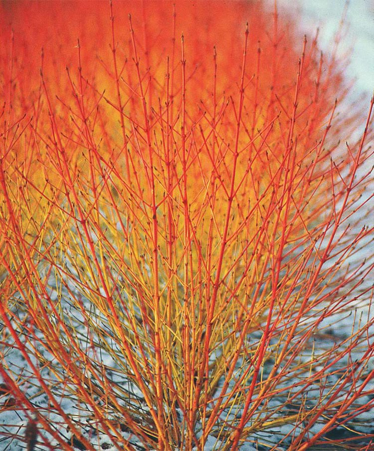Cornus Sanguinea 250 Seeds, Dogwood or Midwinter Fire, Winter Flam