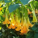 Brugmansia Pumpkin Yellow 5 Seeds, Angel Trumpet Shrub Or Sm Tree