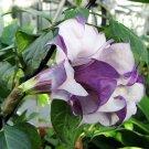 Datura Double Metel Purple 10 seeds, Devil's Trumpet, Horn of Plenty