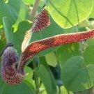Aristolochia Ringens 10 Seeds, Gaping Dutchman's Pipe Vine, Birthwort