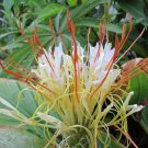 Hedychium Ellipticum 50 Seeds, Shaving Brush Ginger, Hardy Rock Butterfly Lily