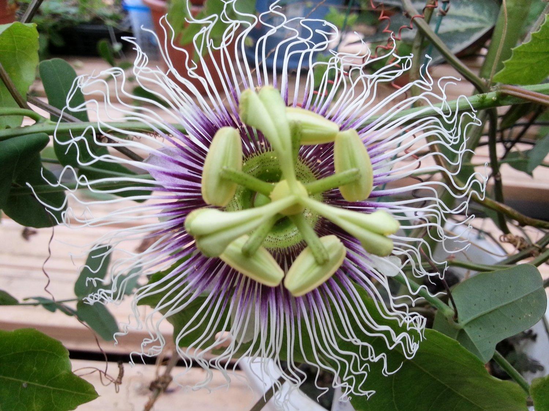 Passiflora Edulis Golden Giant Vine 10 Seeds, Passion Fruit