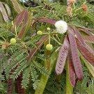 Leucaena Leucocephala, Miracle Lead Tree, Koa Haole 150 Seeds