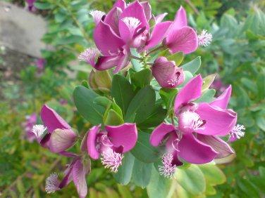 Polygala Myrtifolia 10 Seeds, Milkwort Sweet Pea Shrub