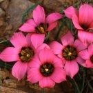 Romulea Subfistulosa 10 Seeds, A South African Bulbous Plant