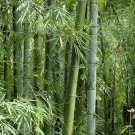 Bambusa bambos 100 Seeds, Giant Indian Thorny Bamboo, Bambusa arundinacea