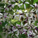 Melia Azedarach Tree, 10 Large Seeds Heavenly Lilac Smell
