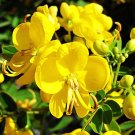 Cassia Tora 20 Seeds, Senna Tora A Wide Range Of Diverse Uses
