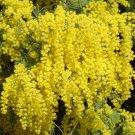 Acacia Dealbata Tree Or Shrub 1,000 Seeds, Silver Wattle Mimosa