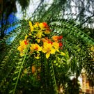 Parkinsonia Aculeata 500 Seeds, Mexican Palo Verde, Jerusalem Thorn