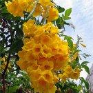 Tecoma Stans, Yellow Elder, Yellow Trumpet Bush Or Small Tree 500 Seeds