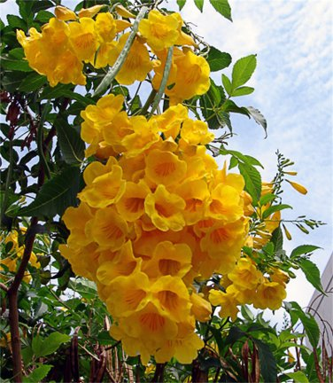 Tecoma Stans, Yellow Elder, Yellow Trumpet Bush Or Small Tree 1,500 Seeds