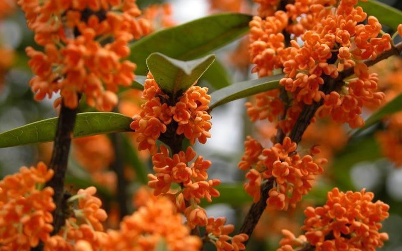 Osmanthus Fragrans Orange 5 Seeds, Very Fragrant Sweet Olive, Cold Hardy Tree Shrub