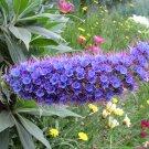 Echium Candicans 15 Seeds, Pride Of Madeira, Perennial Subshrub