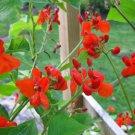 Phaseolus Coccineus 10 Seeds, Scarlet Emperor Runner Bean Non-GMO