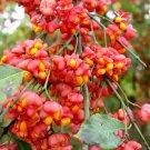 Euonymus Europaea Tree or Shrub 100 Seeds,  Cold Hardy European Spindle