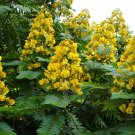 Senna Siamea 20 Seeds, Cassia Kassod, Thailand Shower Tree